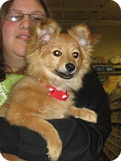 Pomeranian/Dachshund Mix Puppy for adoption in Bellingham, Washington - Jude