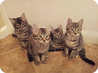 Maine Coon Kitten for adoption in Palm desert, California - Alice