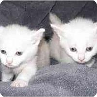 Adopt A Pet :: Manx Kittens MSE100605 - Richmond, VA