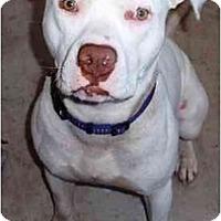 Adopt A Pet :: Kibbs - Gilbert, AZ