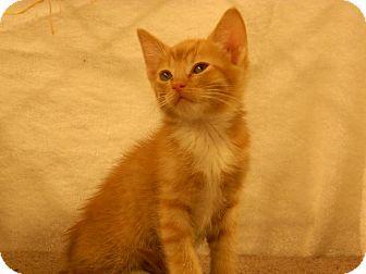 Domestic Shorthair Kitten for adoption in Redondo Beach, California - Dominick