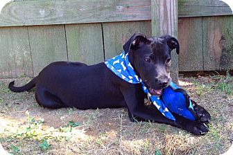 Cattle Dog/Labrador Retriever Mix Puppy for adoption in Kimberton, Pennsylvania - John