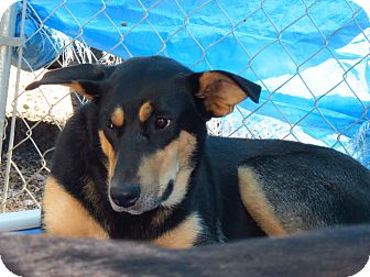 Shepherd (Unknown Type) Mix Dog for adoption in Henderson, North Carolina - Keisha