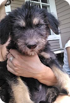 Labradoodle/Hound (Unknown Type) Mix Puppy for adoption in Kalamazoo, Michigan - Ulysses - Jen