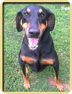 Doberman Pinscher Mix Dog for adoption in Columbus, Ohio - Zoe
