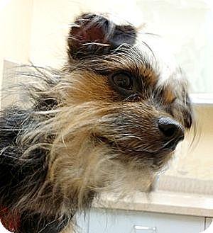 Yorkie, Yorkshire Terrier Mix Dog for adoption in Cincinnati, Ohio - Zsa Zsa