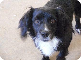 Cocker Spaniel Mix Dog for adoption in Bartonsville, Pennsylvania - Chuck