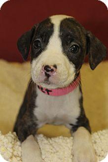 Boxer Mix Puppy for adoption in Waldorf, Maryland - Nesbit
