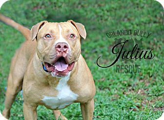 American Pit Bull Terrier/Pit Bull Terrier Mix Dog for adoption in Orlando, Florida - Julius
