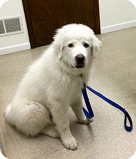 Great Pyrenees Puppy for adoption in Bloomington, Illinois - Andy ADOPTED