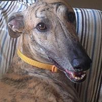 Greyhound Dog for adoption in Tucson, Arizona - Indy