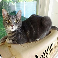 Domestic Mediumhair Cat for adoption in Belleville, Michigan - Bobby