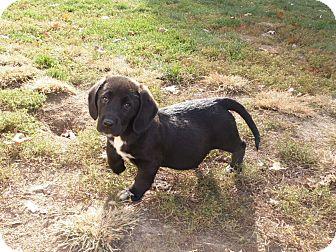 Basset Hound Mix Puppy for adoption in Mooresville, Indiana - Zula