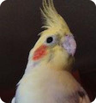 Cockatiel for adoption in Arlington, Virginia - Viper