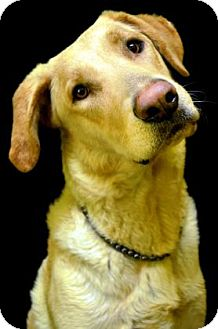 Labrador Retriever Mix Dog for adoption in Fort Smith, Arkansas - Ela