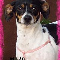 Toy Fox Terrier/Dachshund Mix Dog for adoption in Anaheim Hills, California - Mollie
