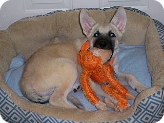 German Shepherd Dog Mix Puppy for adoption in Poteau, Oklahoma - CADET