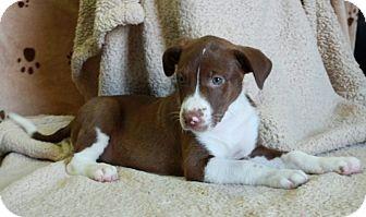Australian Shepherd Mix Puppy for adoption in Salem, New Hampshire - Albany