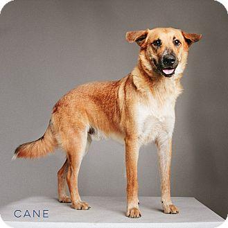 Shepherd (Unknown Type) Mix Dog for adoption in Houston, Texas - Cane