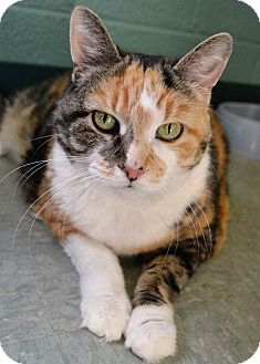 Domestic Shorthair Cat for adoption in Michigan City, Indiana - Chatty