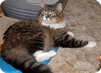 Maine Coon Cat for adoption in Salem, Oregon - Kristi