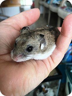 Hamster for adoption in Edinburg, Pennsylvania - Dale