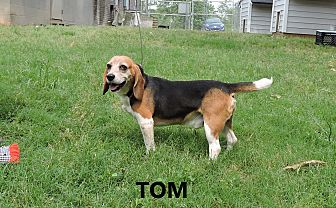 Beagle Dog for adoption in Washington, Georgia - Tom