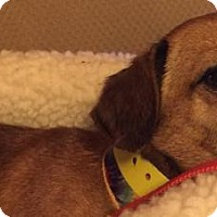 Adopt A Pet :: Annie- Currently in a Foster home - Roanoke, VA