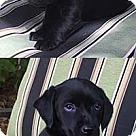 Adopt A Pet :: Ebonies Violet