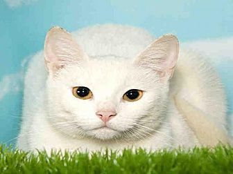 Domestic Mediumhair Cat for adoption in Alameda, California - NOVA