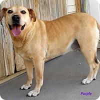 Adopt A Pet :: Purple - Oskaloosa, IA