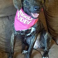 Plott Hound Puppy for adoption in Tampa, Florida - Daphne