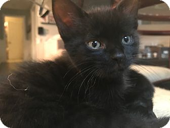 Domestic Shorthair Kitten for adoption in Montreal, Quebec - Truffle