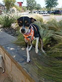 Rat Terrier Mix Dog for adoption in Jersey City, New Jersey - Lana