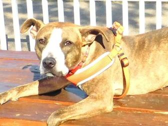American Pit Bull Terrier Mix Dog for adoption in Louisville, Ohio - Angie