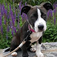 Adopt A Pet :: Adorable Sunny - Potomac, MD