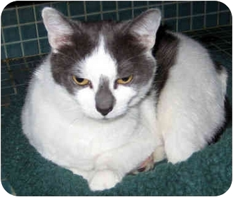 Domestic Shorthair Cat for adoption in Ardsley, New York - Dottie