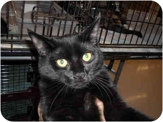 Domestic Shorthair Cat for adoption in Riverside, Rhode Island - Indy