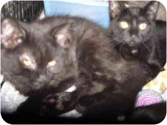 Domestic Longhair Kitten for adoption in Riverside, Rhode Island - Onyx