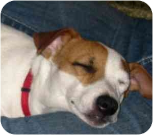 Jack Russell Terrier Dog for adoption in Thomasville, North Carolina - Gizmo