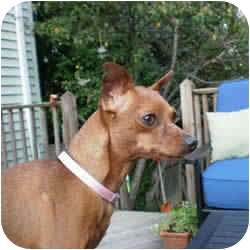 Miniature Pinscher Dog for adoption in Springvale, Maine - PEANUT