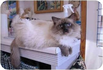 Scottish Fold Cat for adoption in Davis, California - Maxwell