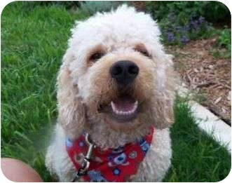 Poodle (Miniature)/Cocker Spaniel Mix Dog for adoption in Humble, Texas - Cooper