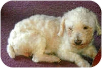 Maltese Mix Dog for adoption in Avon, New York - Drake
