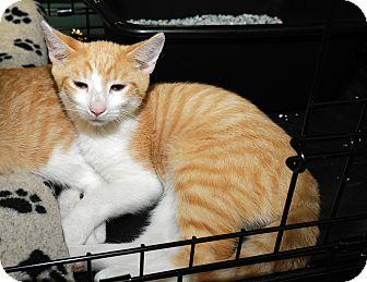 Domestic Shorthair Cat for adoption in Farmingdale, New York - Ian