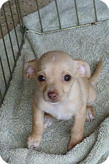 Miniature Pinscher Mix Puppy for adoption in Tustin, California - Genie