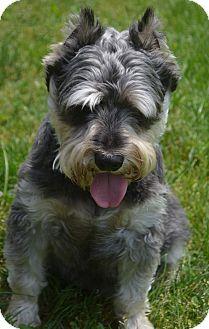 Schnauzer (Miniature) Mix Dog for adoption in Bridgeton, Missouri - Bugsy-Adoption pending