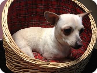 Dachshund/Chihuahua Mix Dog for adoption in Yelm, Washington - Tooty-fruity