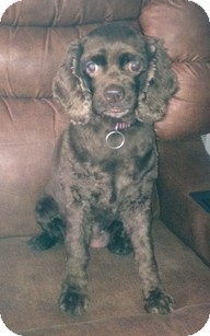 Cocker Spaniel Dog for adoption in Madison, Wisconsin - Jewel