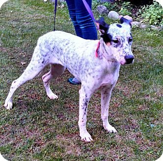 Dalmatian Mix Puppy for adoption in Loudonville, New York - Peachy